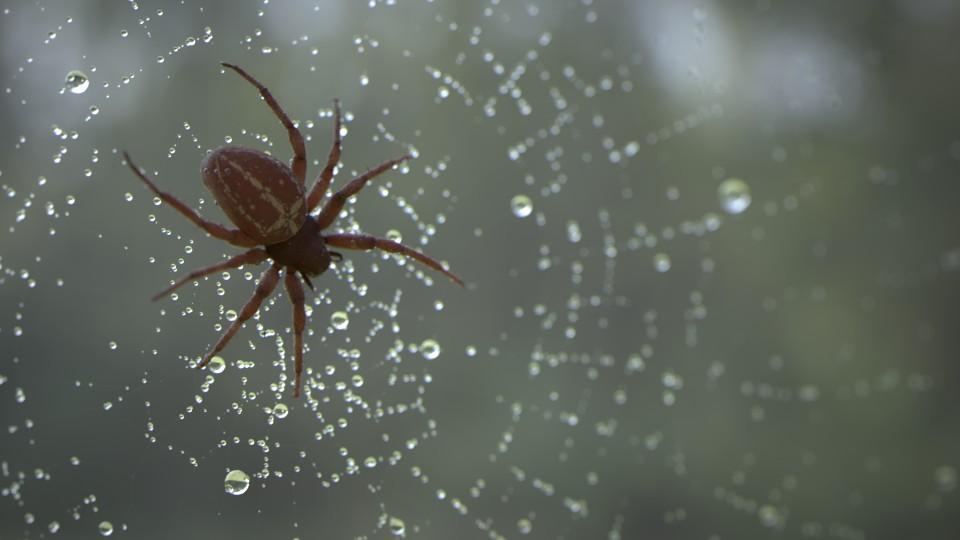 Kreuzspinne im Netz bei Morgentau